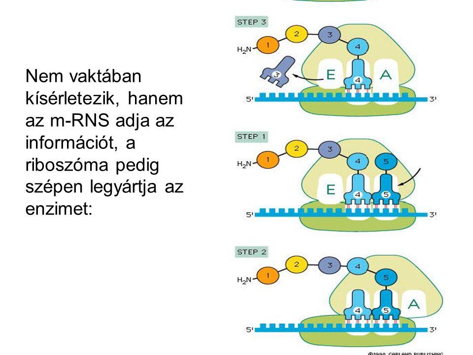 Nem vaktában kísérletezik, hanem az m-RNS adja az információt, a riboszóma pedig szépen legyártja az enzimet: