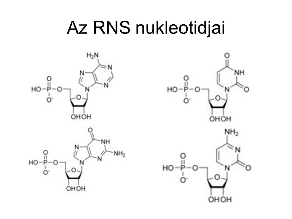 Az RNS nukleotidjai