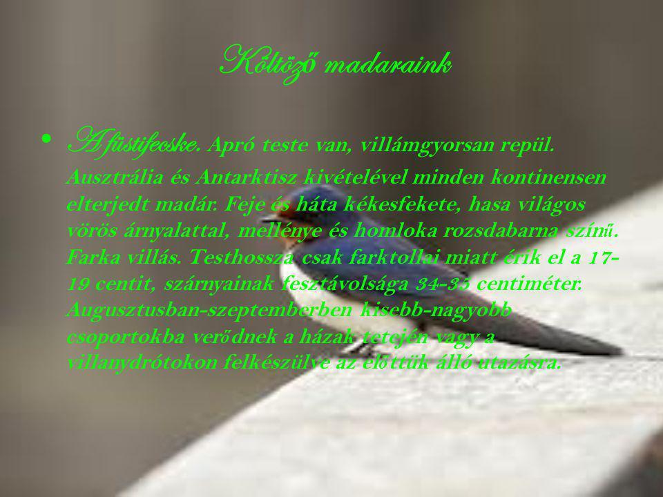 Költöz ő madaraink • A füstifecske. Apró teste van, villámgyorsan repül. Ausztrália és Antarktisz kivételével minden kontinensen elterjedt madár. Feje