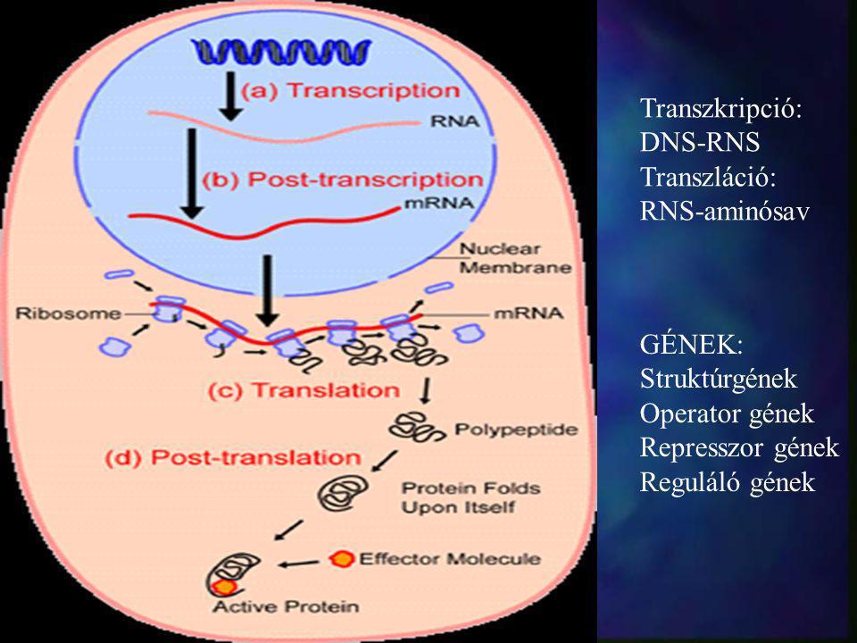 Transzkripció: DNS-RNS Transzláció: RNS-aminósav GÉNEK: Struktúrgének Operator gének Represszor gének Reguláló gének