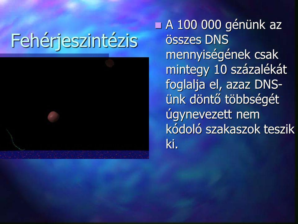 Fehérjeszintézis  A 100 000 génünk az összes DNS mennyiségének csak mintegy 10 százalékát foglalja el, azaz DNS- ünk döntő többségét úgynevezett nem