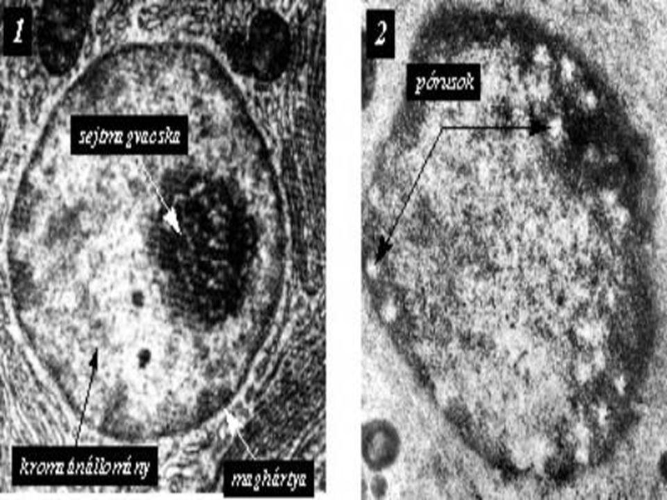 Utazás a sejtben Egy átlagos emberi sejt magja megközelítőleg 5  10 -15 gramm mennyiségű és 1,8-2 méter hosszúságú (3000 millió bázispárnyi) DNS-ből, illetve a DNS mennyiségének másfélszeresét- kétszeresét kitevő különböző fehérjékből áll