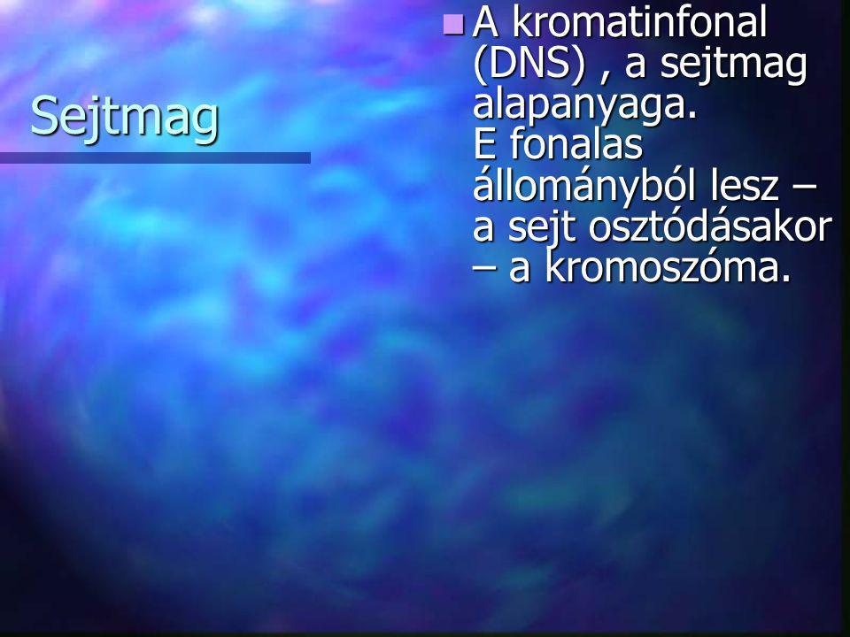 Sejtmag  A kromatinfonal (DNS), a sejtmag alapanyaga. E fonalas állományból lesz – a sejt osztódásakor – a kromoszóma.