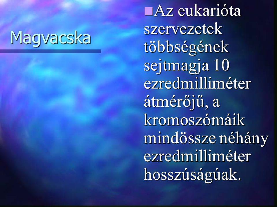 Magvacska  Az eukarióta szervezetek többségének sejtmagja 10 ezredmilliméter átmérőjű, a kromoszómáik mindössze néhány ezredmilliméter hosszúságúak.
