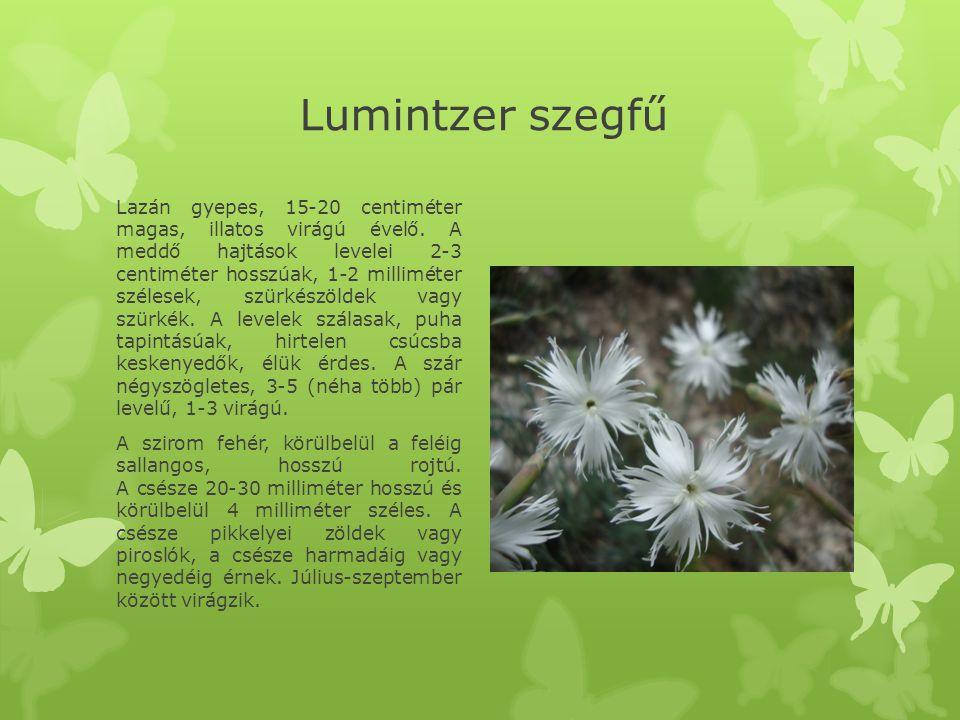 Lumintzer szegfű Lazán gyepes, 15-20 centiméter magas, illatos virágú évelő.