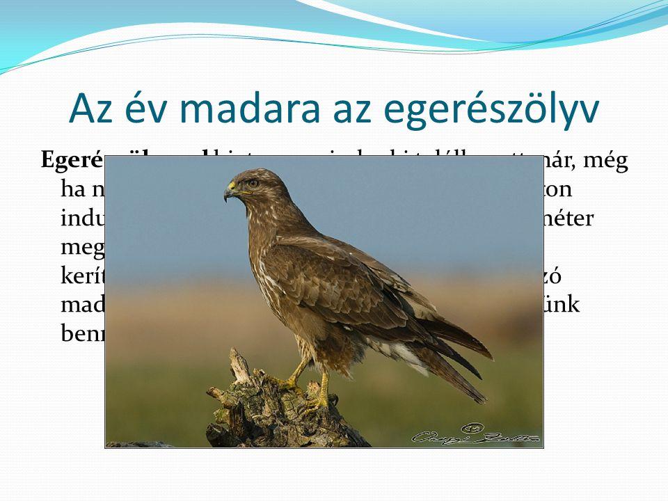 Az év madara az egerészölyv Egerészölyvvel biztosan mindenki találkozott már, még ha nem is tudott róla.