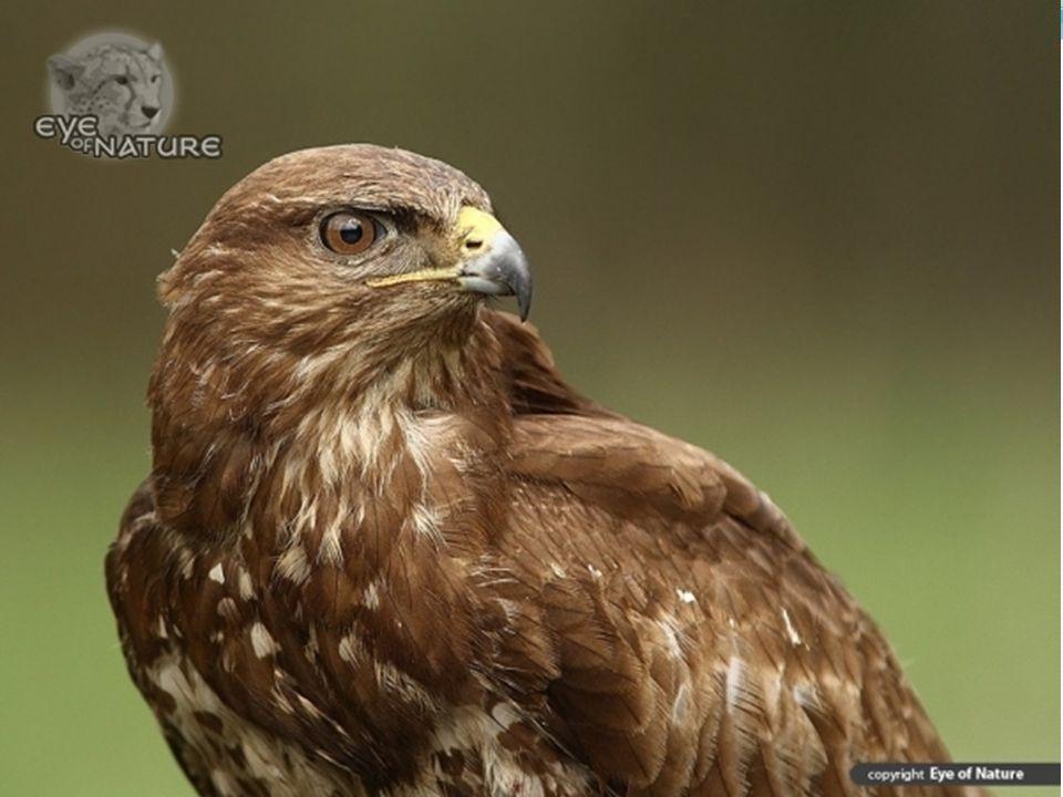 Nem véletlenül kerül a leggyakrabban a szem elé az egerészölyv: a legnagyobb egyedszámú ragadozó madárfaj Magyarországon, fészkelő állományát tíz-húszezer pár közöttire becsülik.