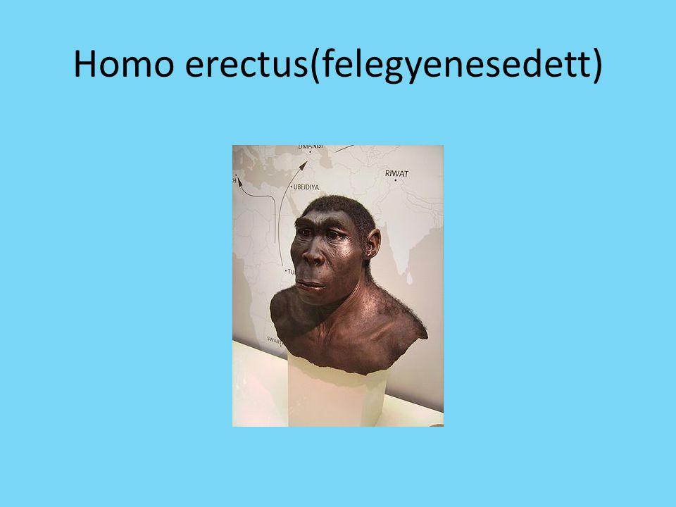 Homo erectus(felegyenesedett)