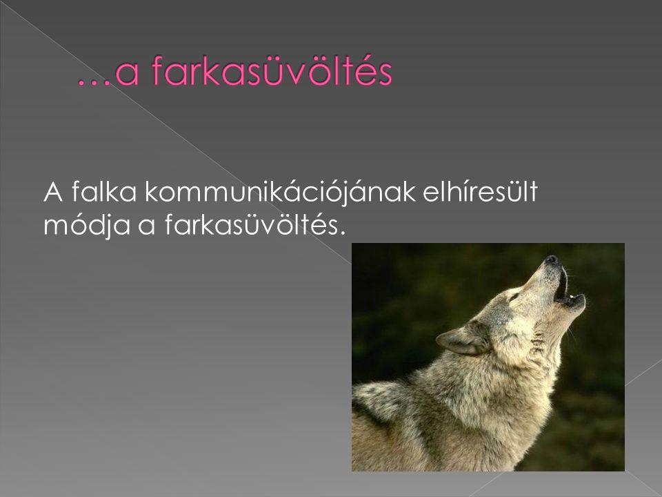 A falka kommunikációjának elhíresült módja a farkasüvöltés.
