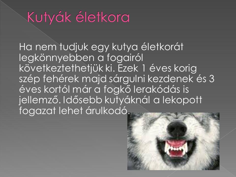 Ha nem tudjuk egy kutya életkorát legkönnyebben a fogairól következtethetjük ki.