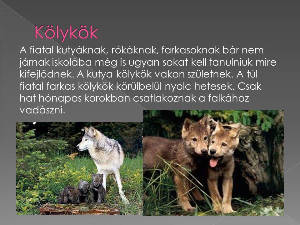 A fiatal kutyáknak, rókáknak, farkasoknak bár nem járnak iskolába még is ugyan sokat kell tanulniuk mire kifejlődnek.