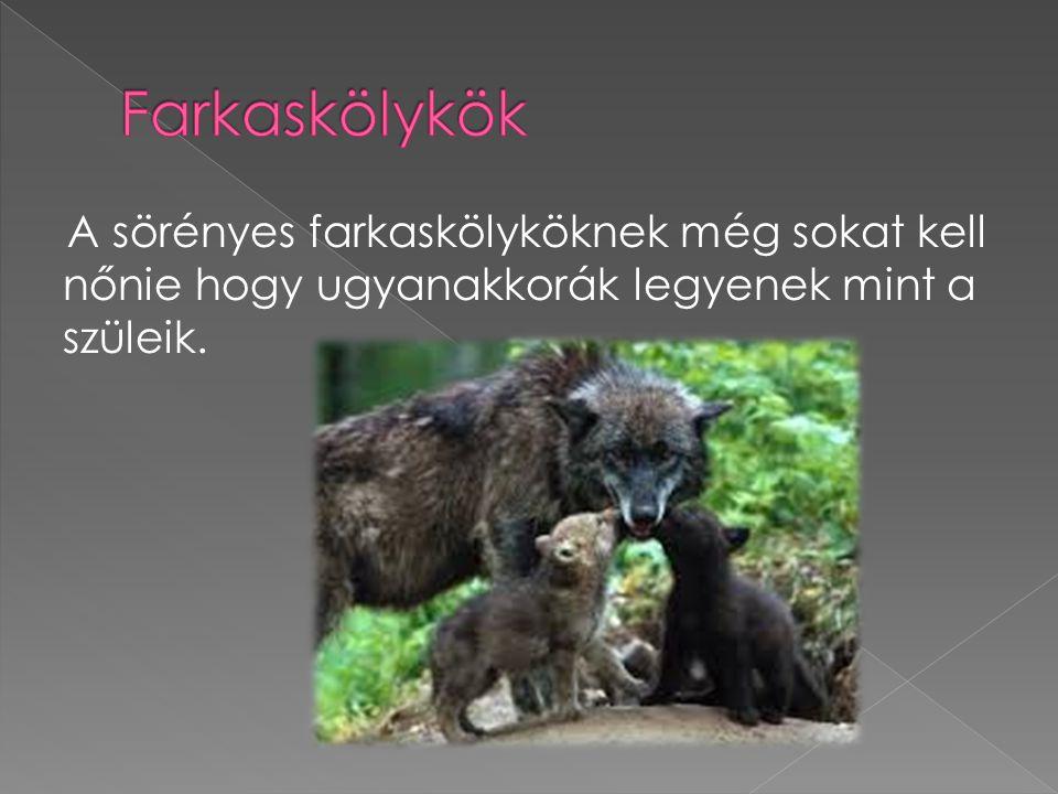 A sörényes farkaskölyköknek még sokat kell nőnie hogy ugyanakkorák legyenek mint a szüleik.