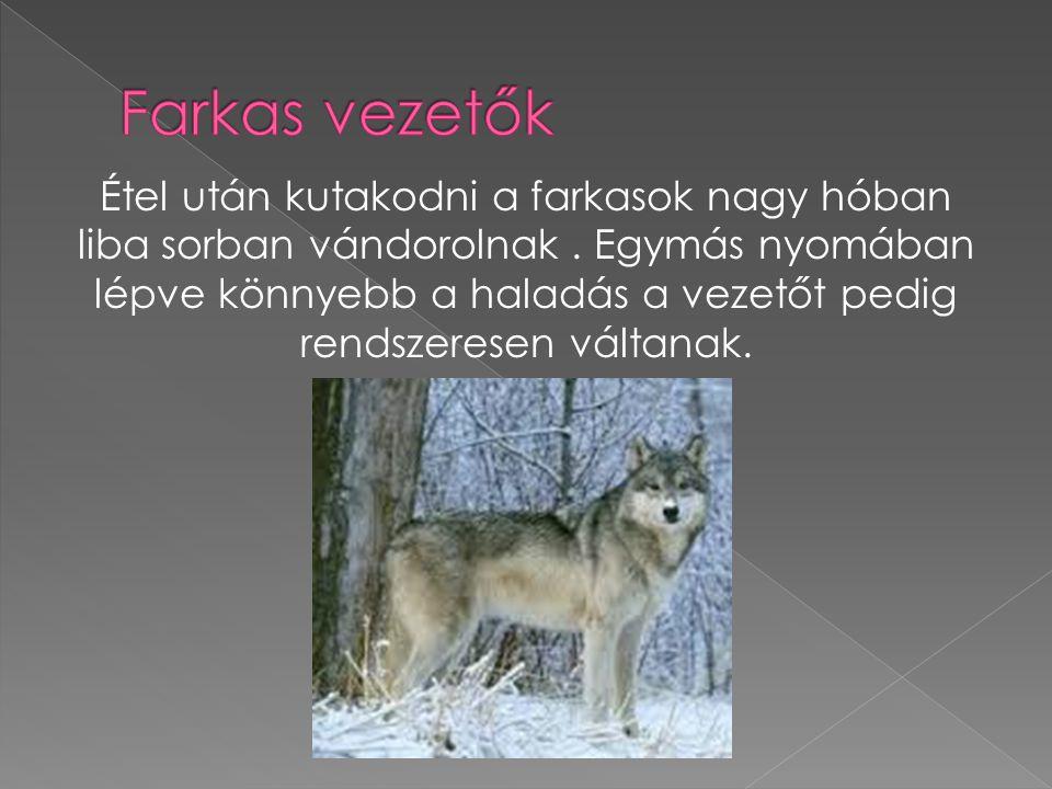 Étel után kutakodni a farkasok nagy hóban liba sorban vándorolnak.
