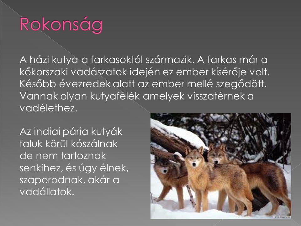A házi kutya a farkasoktól származik.