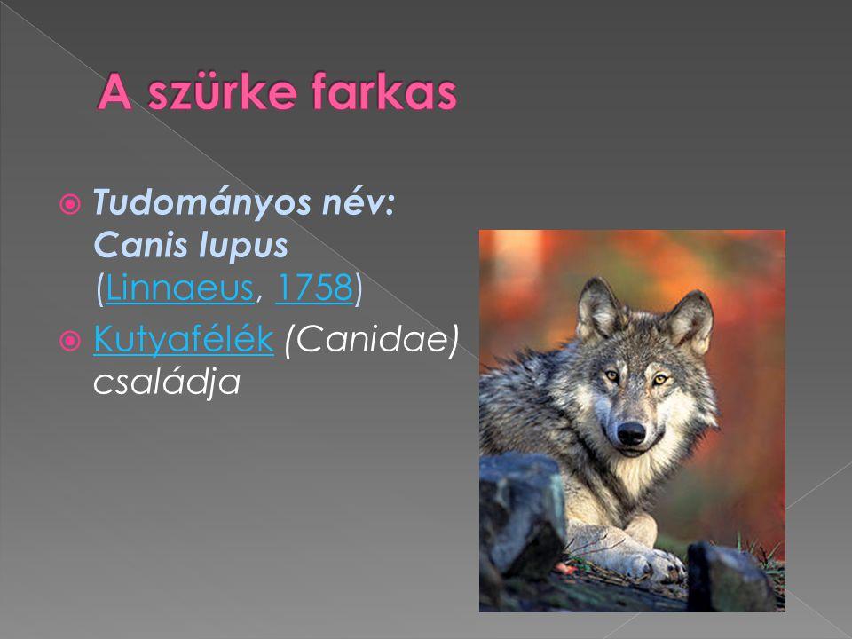  Tudományos név: Canis lupus (Linnaeus, 1758)Linnaeus1758  Kutyafélék (Canidae) családja Kutyafélék
