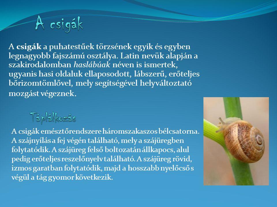 A csigák a puhatestűek törzsének egyik és egyben legnagyobb fajszámú osztálya.