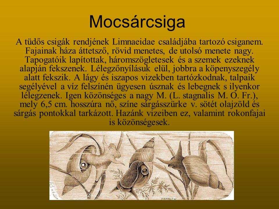 Mocsárcsiga A tüdős csigák rendjének Limnaeidae családjába tartozó csiganem.