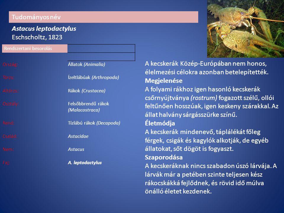 Rendszertani besorolás Ország:Állatok (Animalia) Törzs:Ízeltlábúak (Arthropoda) Altörzs:Rákok (Crustacea) Osztály:Felsőbbrendű rákok (Malacostraca) Rend:Tízlábú rákok (Decapoda) Család:Astacidae Nem:Astacus Faj:A.