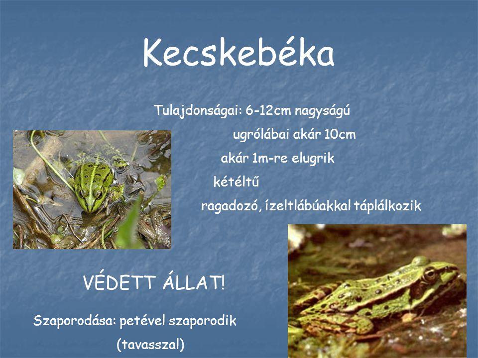 Kecskebéka Szaporodása: petével szaporodik (tavasszal) Tulajdonságai: 6-12cm nagyságú ugrólábai akár 10cm akár 1m-re elugrik kétéltű ragadozó, ízeltlábúakkal táplálkozik VÉDETT ÁLLAT!