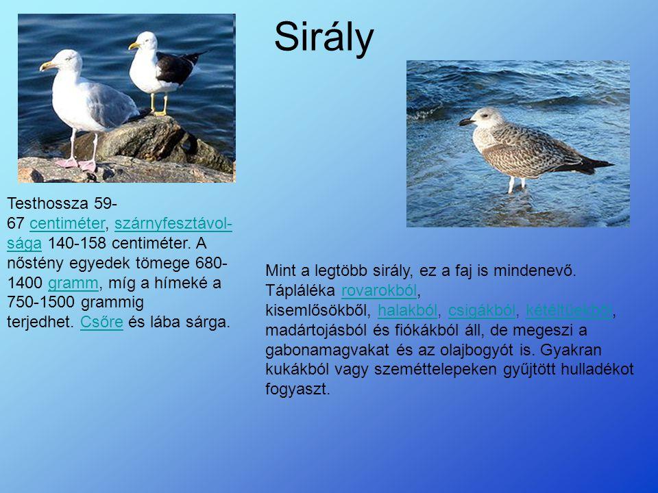 Sirály Testhossza 59- 67 centiméter, szárnyfesztávol- sága 140-158 centiméter.