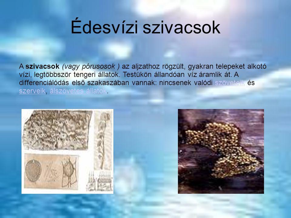 Édesvízi szivacsok A szivacsok (vagy pórusosok ) az aljzathoz rögzült, gyakran telepeket alkotó vízi, legtöbbször tengeri állatok.