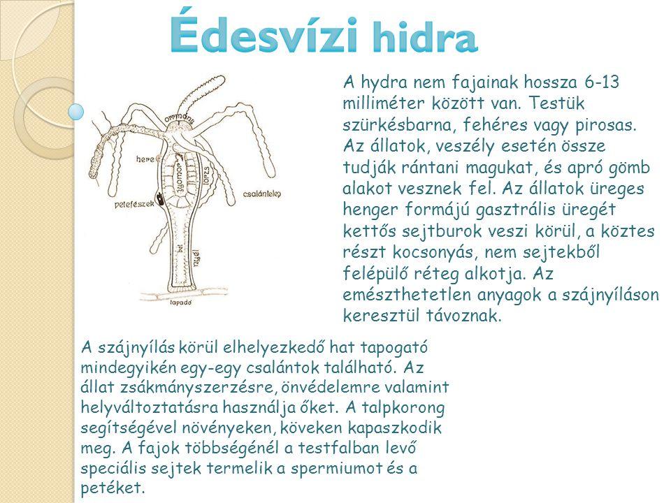 A hydra nem fajainak hossza 6-13 milliméter között van.