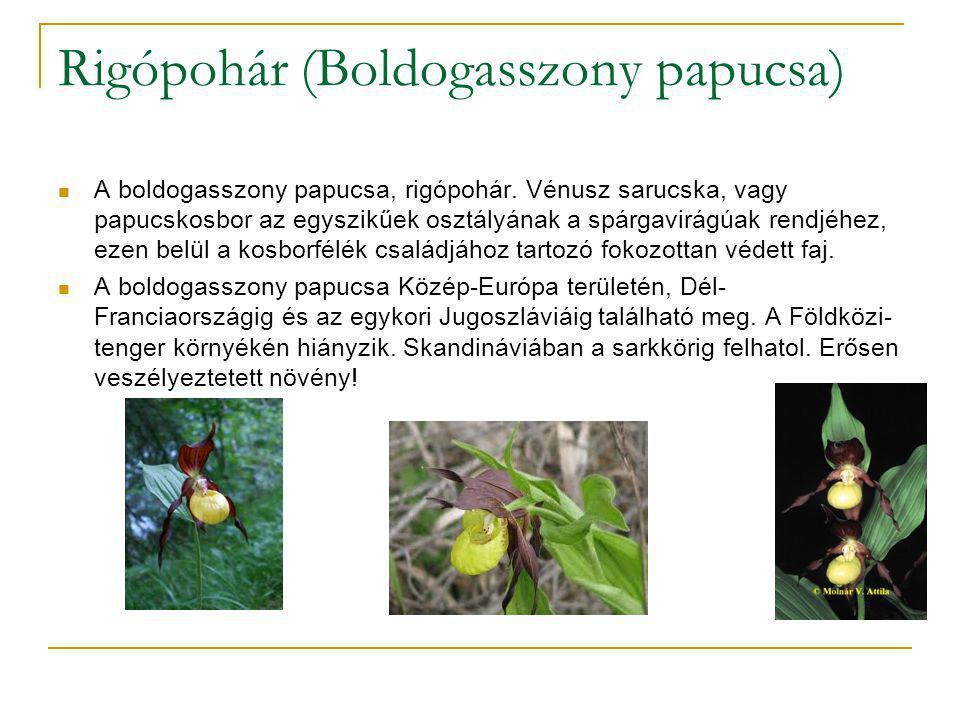Megjelenése  Vízszintesen elhelyezkedő gyöktörzsű, 20-50 centiméter magas növény, 3-5 széles elliptikus, szárölelő vállú, érdes szőrű levéllel.