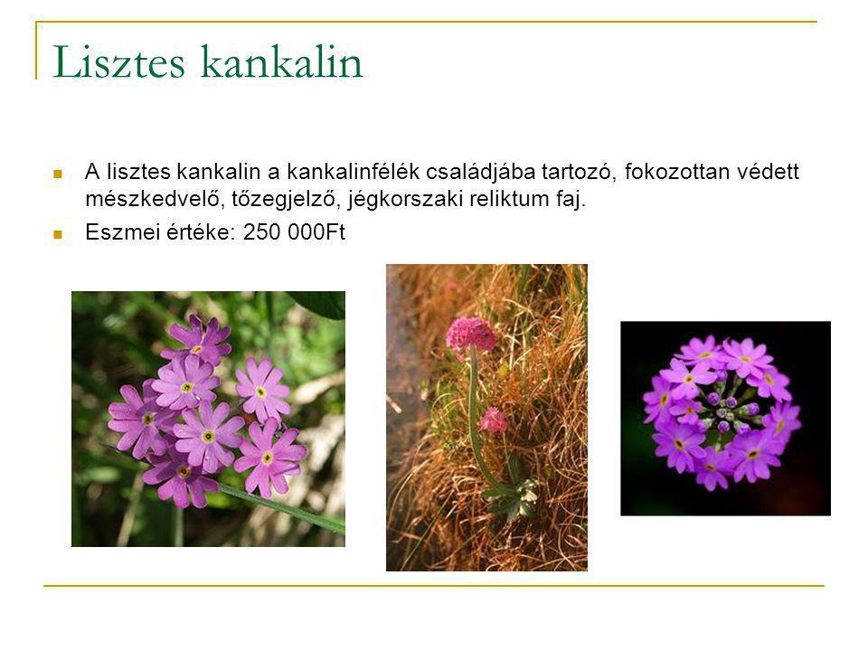 Megjelenése  A növény 5–25 cm magas, tőlevelei 1–10 cm hosszúak, 0,2-0,3 cm szélesek, fonákjuk fehéren lisztes, innen kapta a növény a nevét.