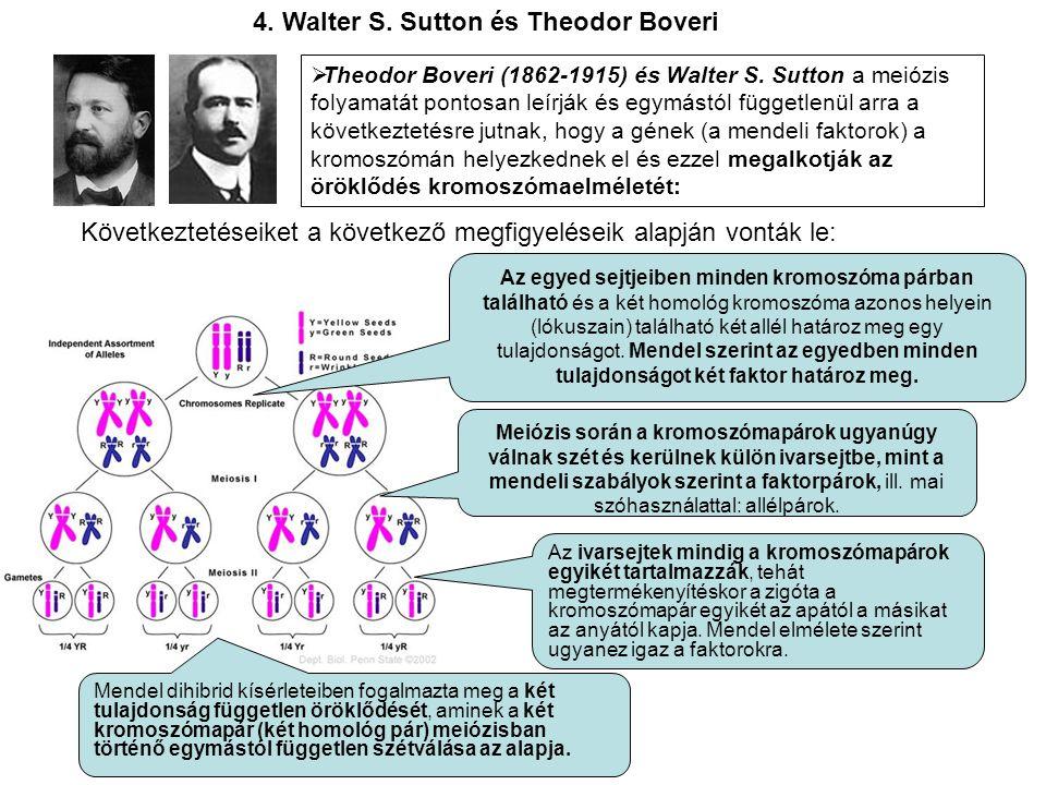  Theodor Boveri (1862-1915) és Walter S. Sutton a meiózis folyamatát pontosan leírják és egymástól függetlenül arra a következtetésre jutnak, hogy a