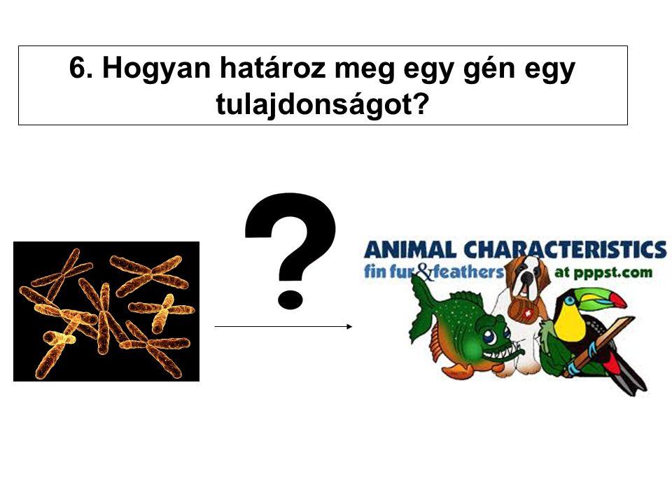 6. Hogyan határoz meg egy gén egy tulajdonságot?