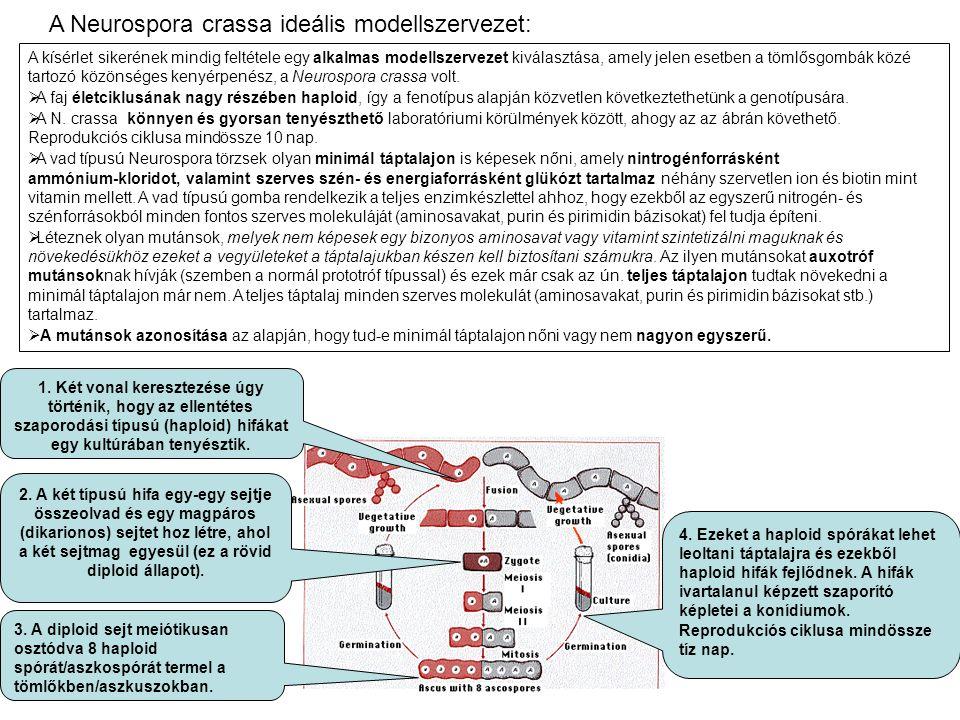 A Neurospora crassa ideális modellszervezet: A kísérlet sikerének mindig feltétele egy alkalmas modellszervezet kiválasztása, amely jelen esetben a tö