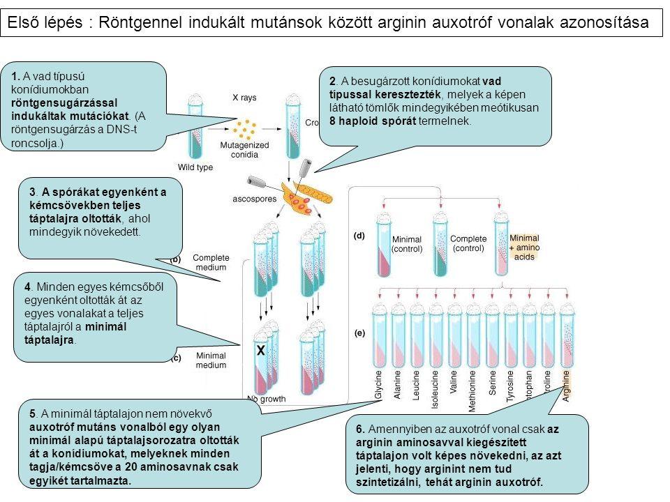 1. A vad típusú konídiumokban röntgensugárzással indukáltak mutációkat. (A röntgensugárzás a DNS-t roncsolja.) 2. A besugárzott konídiumokat vad típus