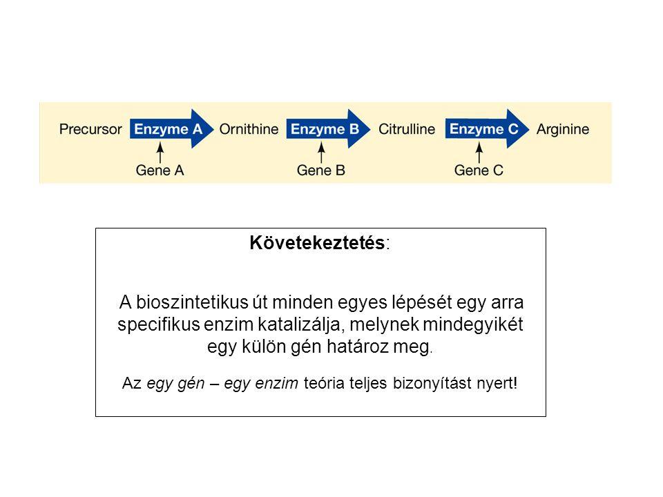 Követekeztetés: A bioszintetikus út minden egyes lépését egy arra specifikus enzim katalizálja, melynek mindegyikét egy külön gén határoz meg. Az egy