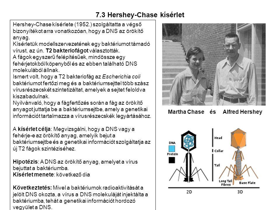 7.3 Hershey-Chase kísérlet Hershey-Chase kísérlete (1952.) szolgáltatta a végső bizonyítékot arra vonatkozóan, hogy a DNS az örökítő anyag. Kísérletük