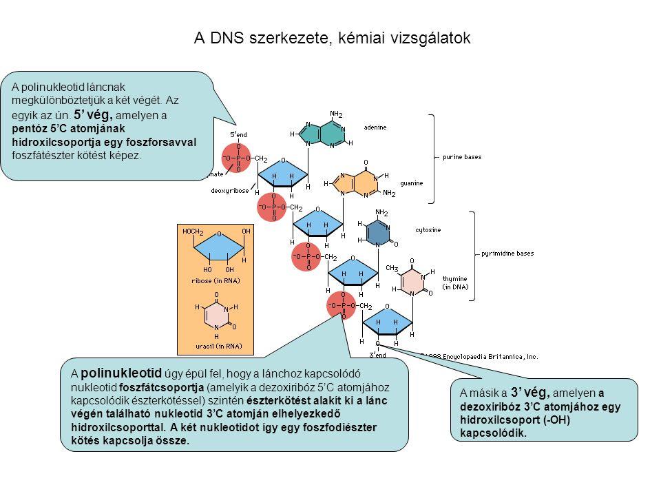 A DNS szerkezete, kémiai vizsgálatok A polinukleotid úgy épül fel, hogy a lánchoz kapcsolódó nukleotid foszfátcsoportja (amelyik a dezoxiribóz 5'C ato