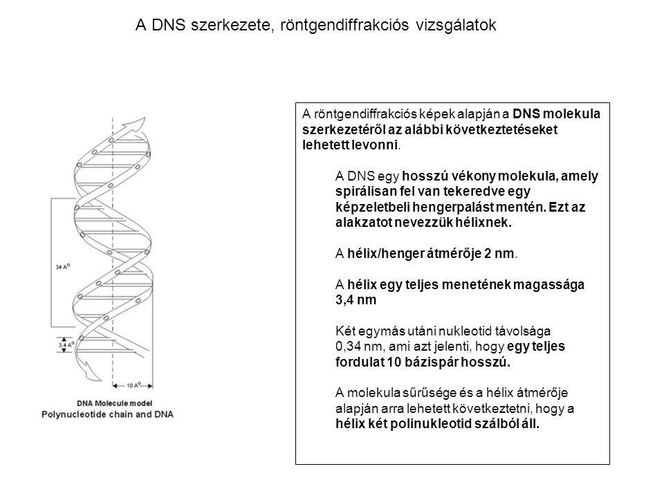 A DNS szerkezete, röntgendiffrakciós vizsgálatok A röntgendiffrakciós képek alapján a DNS molekula szerkezetéről az alábbi következtetéseket lehetett