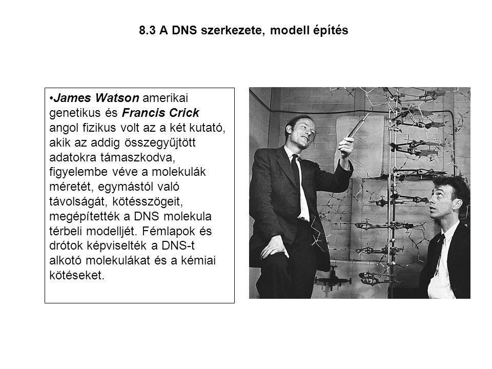 8.3 A DNS szerkezete, modell építés •James Watson amerikai genetikus és Francis Crick angol fizikus volt az a két kutató, akik az addig összegyűjtött