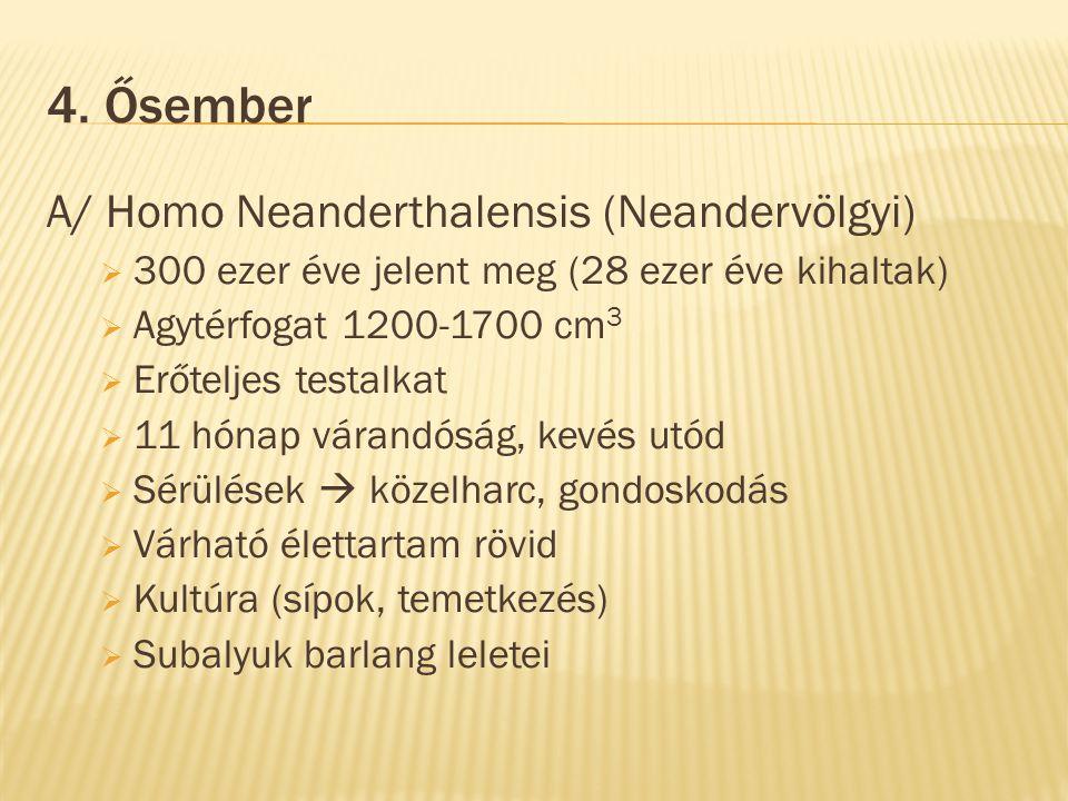 4. Ősember A/ Homo Neanderthalensis (Neandervölgyi)  300 ezer éve jelent meg (28 ezer éve kihaltak)  Agytérfogat 1200-1700 cm 3  Erőteljes testalka
