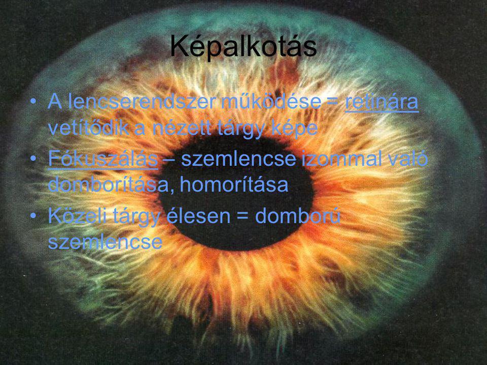 Képalkotás •A lencserendszer működése = retinára vetítődik a nézett tárgy képe •Fókuszálás – szemlencse izommal való domborítása, homorítása •Közeli t