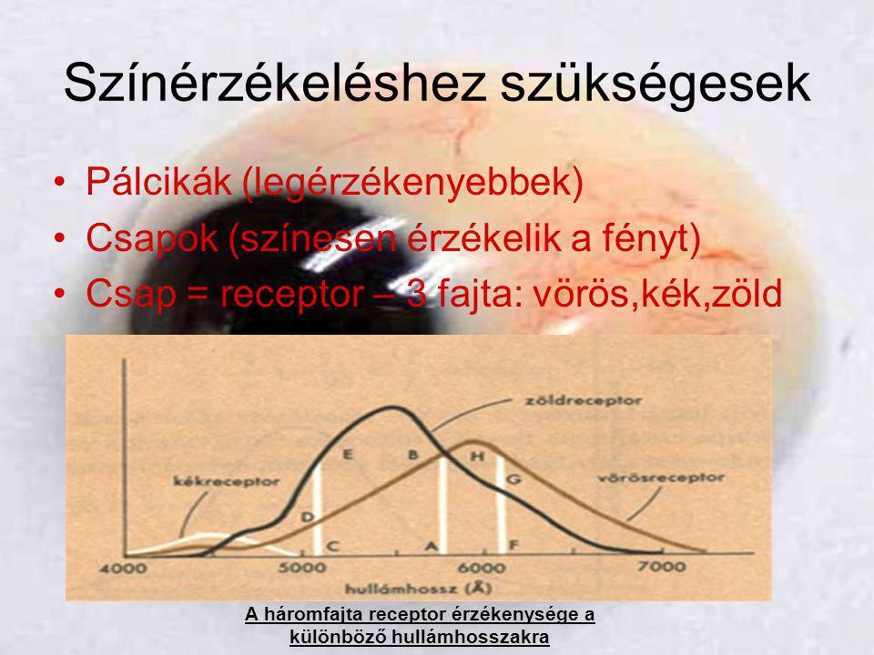 Színérzékeléshez szükségesek •Pálcikák (legérzékenyebbek) •Csapok (színesen érzékelik a fényt) •Csap = receptor – 3 fajta: vörös,kék,zöld A háromfajta