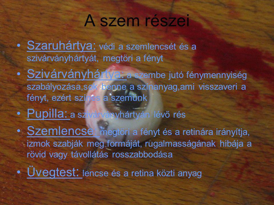 •Retina: fényérzékelő sejtekkel borított hártya, vannak pálcikák (van e fény) és csapok (milyen színű a fény) •Sárgafolt: a retinának az a része, ahol a legtöbb csap található, a szemlencse ide vetíti a képet amire fókuszálunk •Érhártya: glükózzal és vérrel látja el a retina idegsejtjeit •Látóideg: itt gyűlnek össze a retináról elvezető idegsejtek nyúlványai, ahol ezek kilépnek a retináról, ott nincsenek fényérzékelő sejtek.