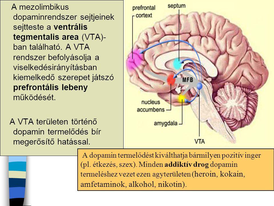 A mezolimbikus dopaminrendszer sejtjeinek sejtteste a ventrális tegmentalis area (VTA)- ban található. A VTA rendszer befolyásolja a viselkedésirányít
