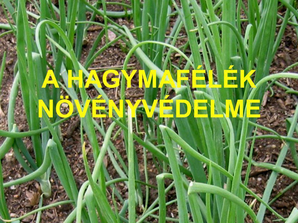 HAGYMA-AKNÁZÓLÉGY ( Dizygomyza cepae) KÁRTÉTEL, KÁRKÉP: A levélen hosszanti lefutású kanyargós aknázás látható.