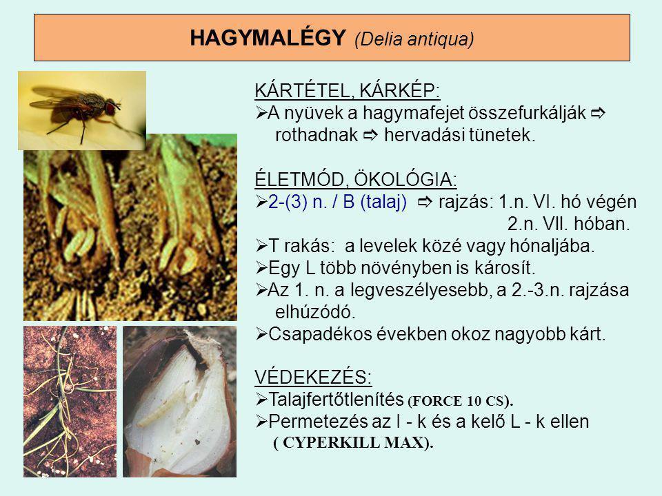 HAGYMALÉGY (Delia antiqua) KÁRTÉTEL, KÁRKÉP:  A nyüvek a hagymafejet összefurkálják  rothadnak  hervadási tünetek. ÉLETMÓD, ÖKOLÓGIA:  2-(3) n. /