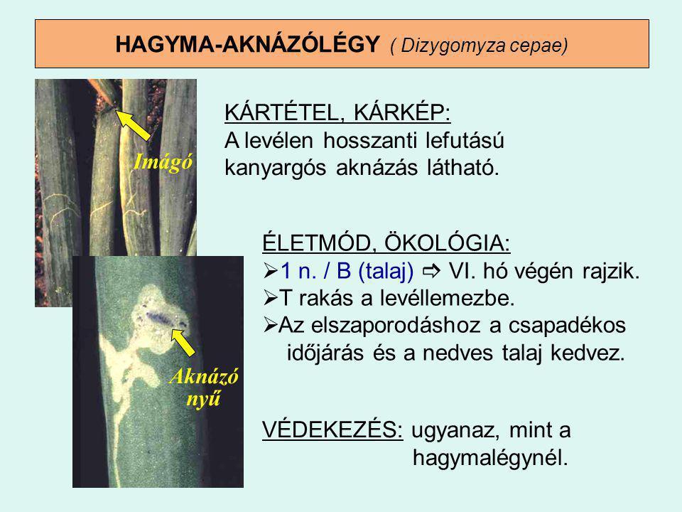 HAGYMA-AKNÁZÓLÉGY ( Dizygomyza cepae) KÁRTÉTEL, KÁRKÉP: A levélen hosszanti lefutású kanyargós aknázás látható. ÉLETMÓD, ÖKOLÓGIA:  1 n. / B (talaj)