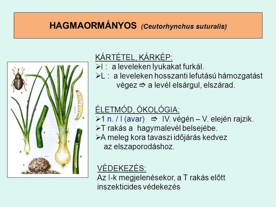 HAGMAORMÁNYOS (Ceutorhynchus suturalis) KÁRTÉTEL, KÁRKÉP:  I : a leveleken lyukakat furkál.  L : a leveleken hosszanti lefutású hámozgatást végez 