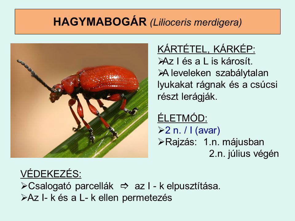 HAGYMABOGÁR (Lilioceris merdigera) VÉDEKEZÉS:  Csalogató parcellák  az I - k elpusztítása.  Az I- k és a L- k ellen permetezés KÁRTÉTEL, KÁRKÉP: 