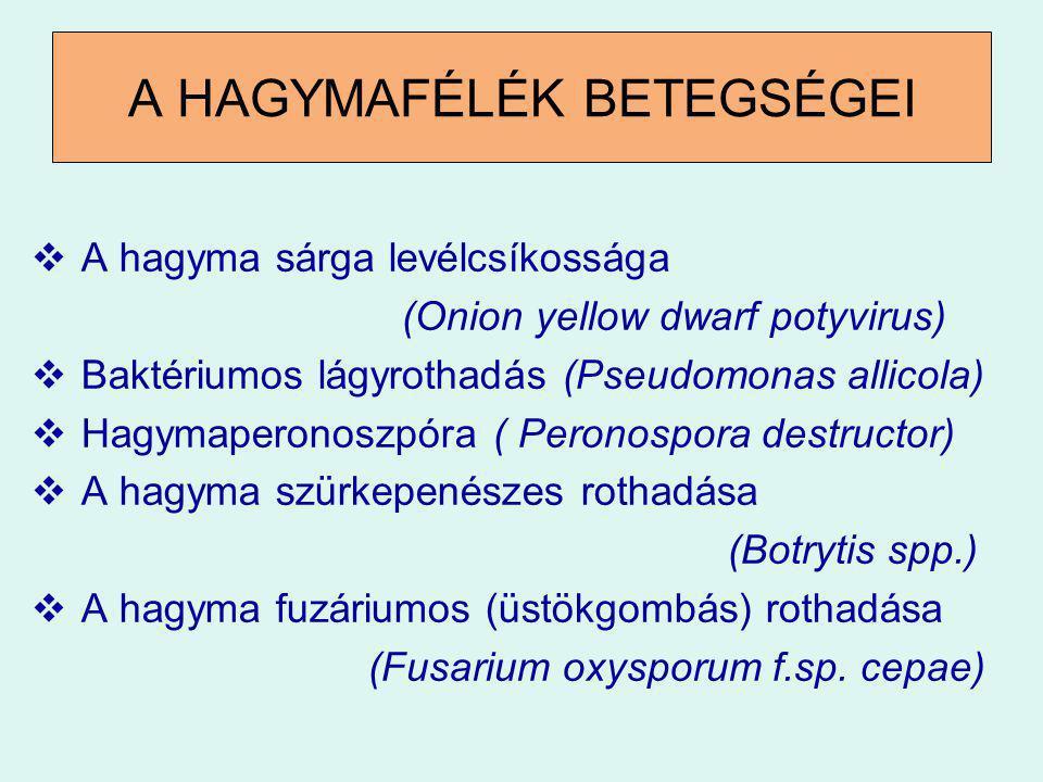 A HAGYMA SÁRGA-LEVÉKCSÍKOSSÁGA (Onion yellow dwarf potyvirus) TÜNETEK:  A levélen sárga vagy világoszöld csíkozottság  lapítottak, hullámosodnak, földre fekszenek.