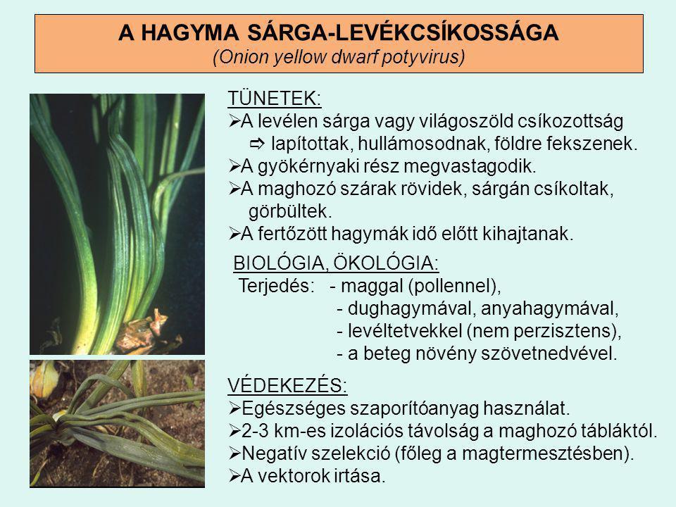 BAKTÉRIUMOS LÁGYROTHADÁS (Pseudomonas allicola, Erwinia carotovora) TÜNETEK:  A hagyma nyaki részéről kiinduló, bűzös rothadás.