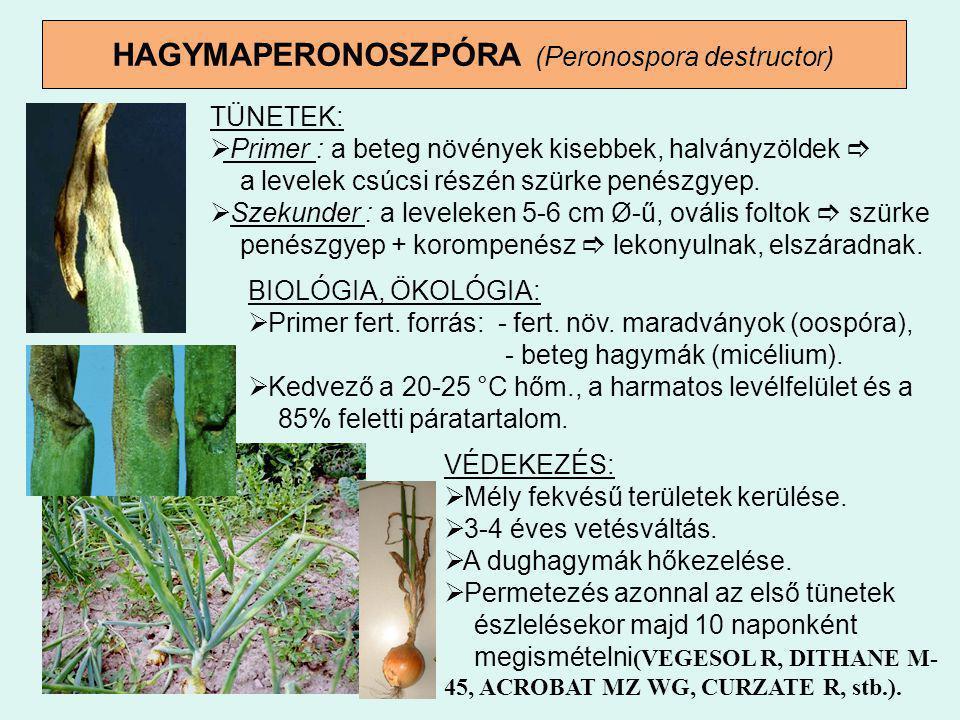 HAGYMAPERONOSZPÓRA (Peronospora destructor) TÜNETEK:  Primer : a beteg növények kisebbek, halványzöldek  a levelek csúcsi részén szürke penészgyep.
